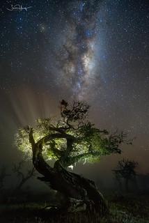 Bonsai Tree Patagonia