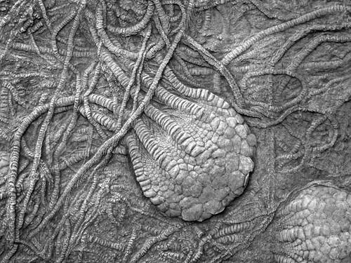 uintacrinus socialis fossil crinoids fossils crinoid chalk niobrara formation cretaceous logan county kansas