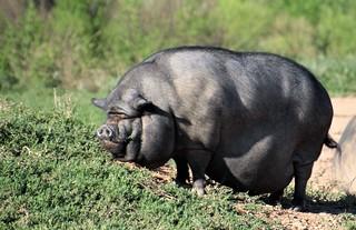Big Piggy