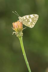 Blanquiverdosa (Fernandoalva) Tags: mariposa blanquiverdosa d500 105 macrofotografía macro nature nikon