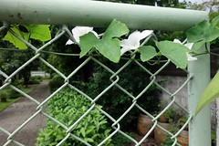 the enemy at our gate (the foreign photographer - ฝรั่งถ่) Tags: vine our gate white flowers bangkhen bangkok thailand sony rx100