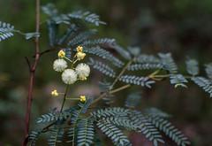 Bush globes (OzzRod) Tags: pentax k1 smcpentaxk50mmf12 wattle acacia globular flower shrub bipinnate yuelarbah glenrock dailyinjuly2017
