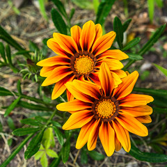 Sibyl's GAZANIA plants welcome the sun and a drink of water (TAC.Photography) Tags: orange yellow twins gazania