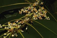 Calophyllum australianum (andreas lambrianides) Tags: calophyllumaustralianum clusiaceae blushtouriga pinkcalophyllum australianflora australiannativeplants australiaqnrainforests australianrainforestplants australianrainforestflowers whiteflowers arfflowers whitearfflowers arfp qldrfp cyrfp welldevelopedrainforest tropicalarf