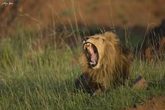 Royal Yawn (V I J U) Tags: 2016 africa kenya masaimara nature safari travel vijujose wildlife narok ke yawn ef500mmf4lisii canon5dmarkiii