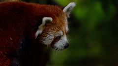 kleiner Panda (dieter-und-marion sempf) Tags: panda kleiner kleinerpanda säugetier tier natur hundeartig marderverwandte kleinepandas tiergartennürnberg
