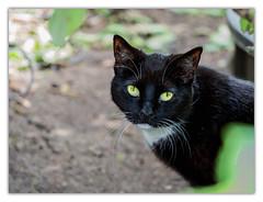 Resident Cat | Hofjäger (Silke Klimesch) Tags: 7dwf fauna cat katze chat felis félin gatto gato kat kissa katt köttur kotka kočka macska γάτα kedi котка мачка ко́шка 猫 depthoffield königlichegartenakademie berlin dahlem dof olympus omd em5 mzuikodigitaled60mm128macro microfourthirds nikcollection