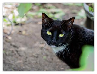 Resident Cat | Hofjäger
