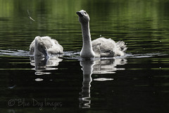 Cygnets and Dragonfly (Blue Dog Images) Tags: cygnets norfolk canon pond reflections 7dmarkii
