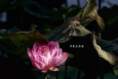 D67_0073 (brook1979) Tags: 植物園 台北市 荷花 花 蓮 蓮花 葉 荷葉 lotus flower