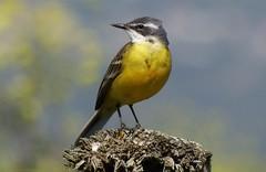 Alvéola amarela (Motacilla flava) (Hugo Albuquerque) Tags: alvéolaamarela motacillaflava aves avifauna avesemportugal asas avesemliberdade avesdomundo