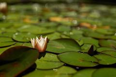 Seerose (Ernst_P.) Tags: 50mm aut blume blüte botanischergarten f14 innsbruck österreich pflanze seerose sigma tirol inzing