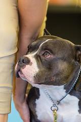 IMG_3390.jpg (Gathering the Light By Wade) Tags: abkc animal bully dog pitbull pitty