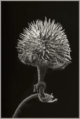 Seed Pod #6 2017 (hamsiksa) Tags: plants flora vegetation flowers seeds seedpods plantsex spines desert sonorandesert xerophytes arizona tucson pimacounty blackwhite study botanical studio studioshot