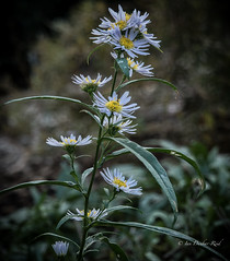 Michaelmas Daisy or Easter Daisy (idunbarreid) Tags: daisies