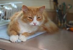 Jimmy (rootcrop54) Tags: jimy orange ginger tabby male cat dishdrainer kitchen counter neko macska kedi 猫 kočka kissa γάτα köttur kucing gatto 고양이 kaķis katė katt katze katzen kot кошка mačka maček kitteh chat ネコ