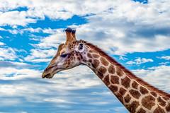La tête dans les nuages (michelgroleau) Tags: afrique safari profil girafe giraffe nuage cloud animal nature ciel sky