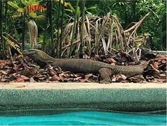 3 (khayalahasanova) Tags: lizard malayzia pool nature naturelove lovenature flickrnature beautifulbeach beautifulnature beautyofnature wildnature justnature langkawi island langkawiisland