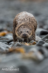 Otter on Mull - Down the Lens! (Highland Andy (Andy Howard)) Tags: mull otter close encounter photography photo workshop guiding tours