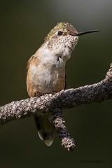 IMG_8012 broadtail hummingbird (starc283) Tags: starc283 canon canon7d colorado bird birding birds flickr flicker nature naturesfinest wildlife hummingbird broadtailedhummingbird broadtailhummingbird