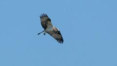 Osprey in flight (m2onen) Tags: osprey pandionhaliaetus sea hawk fish eagle sääksi kalasääski bif inflight birdinflight bird birds birdofprey prey flying raptor sony a6300 laea3 sal70400g