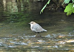 Dipper (Bogger3.) Tags: dipper aquaticbird feedingunderwater standingintheriver canon600d tamron150x600lens held handheld fullzoom coth coth5 sunrays5