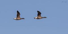 Rotgans (judithvanagthoven) Tags: vogels birds nederland natuur texel canon 7d sigma 150500mm zwarte ganzen eendvogels
