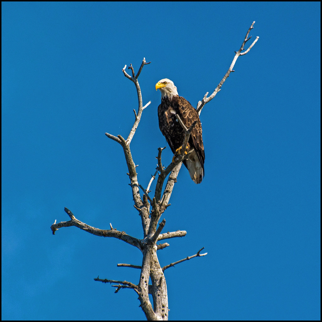 bald eagle mini research paper How to write a general research paper argumentative research paper using elements of literature bald eagle - america or.