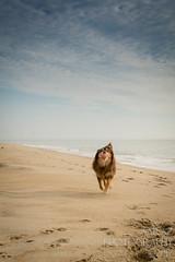 SZP_8865_pslr5 (Lakeside Annie) Tags: 2017 20170719 aussie australianshepherd bethanybeach bethanybeachde bethanybeachdelaware d7100 delaware denali july19 leannefzaras nikon nikond7100 redtri redtriaussie sarazphotography sigma sigma1770mm wednesday beachdog dog sandynose sandypaws beach delawarebeach