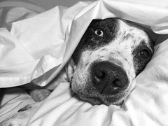 Goodnight (Cruzin Canines Photography) Tags: iphone6plus portrait cute pitbull domesticanimal bakersfield animals domestic animal cleo pit california dog dogs american bull terrier pets iphone pretty canine blackandwhite closeup mammal pet cleopitra