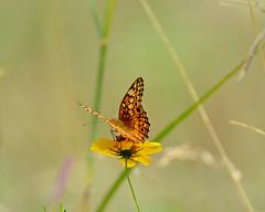 Variegated fritillary (justkim1106) Tags: butterfly insect wings wingedinsect yellowflower bokeh naturebokeh beyondbokeh texasnature uvaldecounty montelltexas