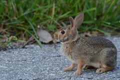 Frozen (Plummerhill) Tags: rabbit bunny