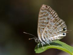 Lang's Short-tailed Blue (Leptotes pirithous (Linnaeus, 1767)) (Matt φ Smith) Tags: