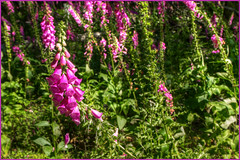 Foxglove Forest (ScottElliottSmithson) Tags: washingtonstate washington washingtonstateparks washingtonstatenature washingtonnature orcasisland orcas moranstatepark moran foxglove wildflower wildflowers mountainlaketrail bokeh canon eos eos7d 7d dtwpuck scottelliottsmithson scottsmithson sanjuanislands sanjuancounty northwestwashington pacificnorthwest pacificnorthwestnature photomatix hdr hdrflower nature wild