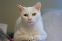 up close and personal...  (Charlie) (rootcrop54) Tags: charlie white allwhite male cat expressions paws neko macska kedi 猫 kočka kissa γάτα köttur kucing gatto 고양이 kaķis katė katt katze katzen kot кошка mačka maček kitteh chat ネコ