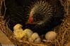 New Mom (saidailha) Tags: littlechick nascendo pintinho ninho nest mon mamãe mammy