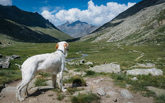 7-12 Arthur says: we've come a long way, man (marco sees things) Tags: valsavaranche path nivolet vallee altitude granparadiso mountains alps nationalpark englishsetter walking arthur trekking hiking setter valdaosta ilaria grivola summer nature italy 12monthsfordogs