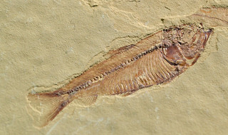 a fossil fish. {explored}