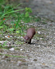 Fours weasels playing on the path today. Miles away and wrong kit