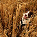 29/52 Golden (meg price) Tags: 52weeksfordogs flynn bordercollie wheat dog