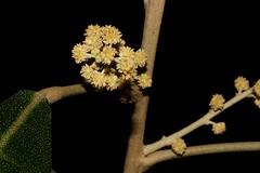 Lunasia amara (andreas lambrianides) Tags: rutaceae lunasiaquercifolia pilocarpusamarablanco lunasiaamarablancovaramara lunasiaamara australianflora australiannativeplant australianrainforests australianrainforestplants cyrfp lowlandarf creamarfflowers arfflowers galleryarf understoreyarfp arfp rainforestplant rainforestplants lunasia