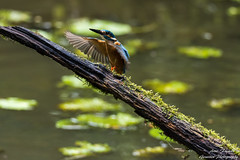 Landeanflug(Alcedo atthis) Fütterung der zweiten diesjährigen Brut. Wildlife,Wümmeniederung-Bremen. ©Arne Flemke (Cristoforo Colombo) Tags: eisvogel kingfisher bremen wümme wümmewiesen