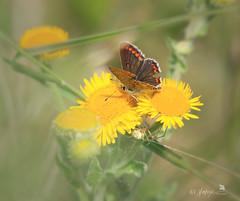 Brown Argus- explored 24.7.17 #359 (~ **Barbara ** ~) Tags: butterfly tiny brown daisy yellowflower wildlife wildflower grasses macro canon7dii explored