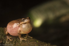 H. squirrella (antonsrkn) Tags: hyla hylidae hylid treefrog tree frog sac calling vocal sing song singing nature animal wildlife north carolina nc usa east coast funny action trash night nocturnal herp herping herpetology science behavior anuran anura amphibia amphibian