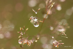 IMG_012165 - I love the rain (Monique van Gompel) Tags: 7dwf tamronsp90mmf28dimacro11vcusd tamronsp90mm tamron canon canoneos80d macrofotografie macrophotography nature natuur natuurfotografie naturephotography rain raindrops regendruppels rainydays drops