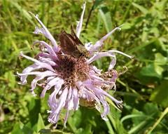 Wild Bergamot (Monarda fistulosa) with butterfly (John Scholze) Tags: bergamot bee balm monarda fistulosa wisconsin wildflower butterfly