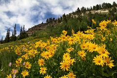 Mountain Wildflowers (arbyreed) Tags: arbyreed smileonsaturday wildflowers nature flowers mountain alta saltlakecountyutah yellowwildflowers alpine