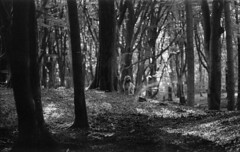 Walk in the forrest (Roesmeister) Tags: pentax spotmatic sp super takumar 85mm f19 kodak trix rodinal dog grand basset griffon bw black white vendeen