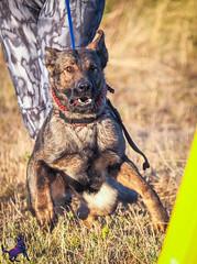 P7151472 (Songdog Studios) Tags: green dog neumond womensretreat 2017 k9 schutzhund ipo