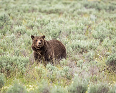 Tetons Grizzly (grimeshome) Tags: grizzly grizzlybear tetons tetonnationalpark grandtetonnationalpark brownbear bear wildlife nature wyoming wilderness sigmalenses sigma150600mm